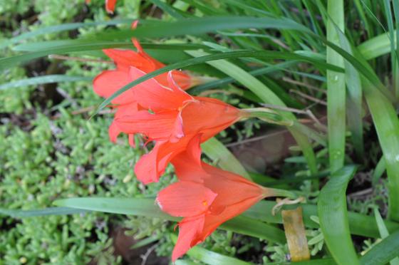 Fleurs de Cyrtanthus sanguineus