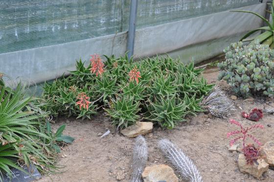 Touffe d'Aloe 'Delrue' dans la serre