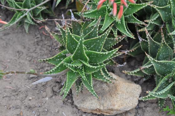 Feuillage d'Aloe 'Delrue'