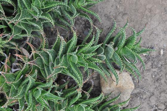 Tiges d'Aloe 'Delrue'