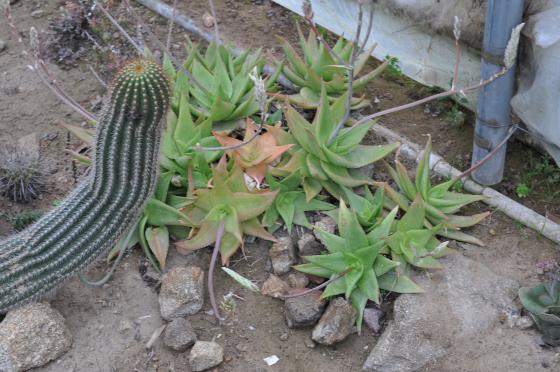 Aloe horombensis subsp. fallax