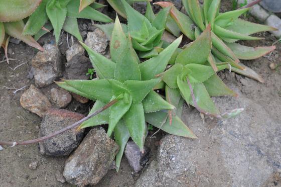 Rosette d'Aloe horombensis ssp. fallax