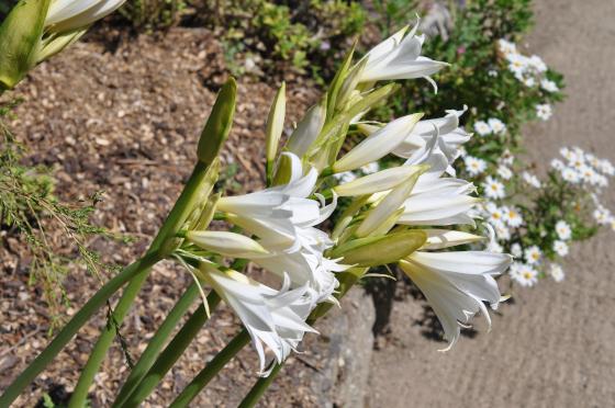 Fleurs d'Amaryllis belladonna 'White Queen'.