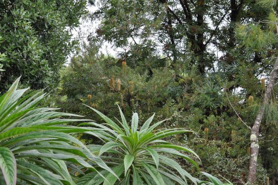 Banksia spinulosa var. cunninghamii derrière des Echium
