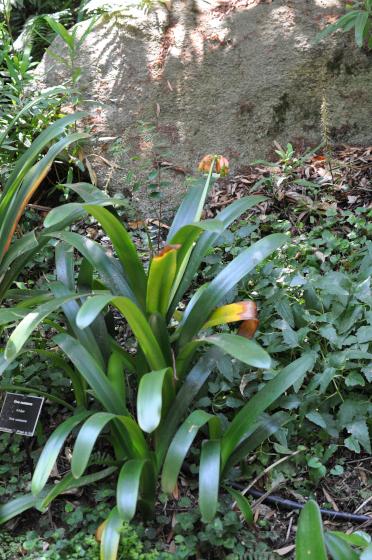 Feuillage de Clivia caulescens.