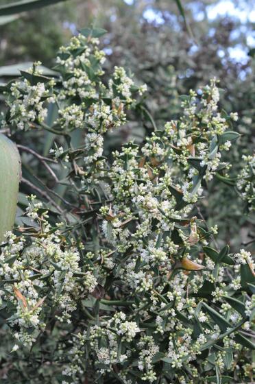 Branches fleuries de Colletia cruciata