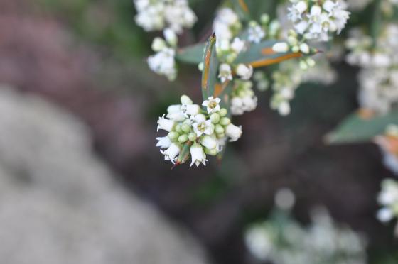Fleurs de Colletia cruciata