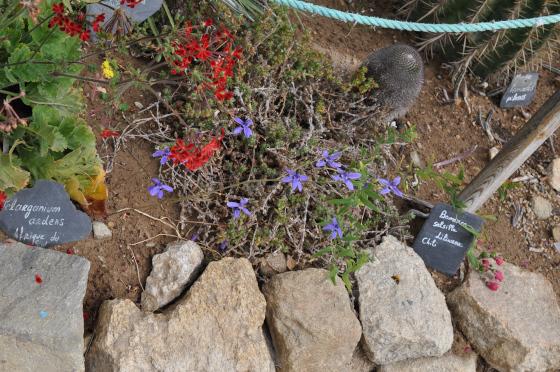 Conanthera trimaculata et ses fleurs bleues