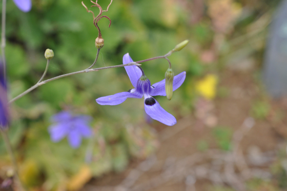 Fleur de Conanthera trimaculata