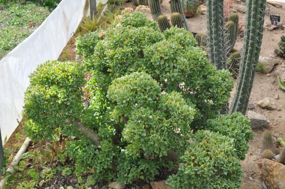 Feuillage de Crassula arborescens ssp. undulatifolia.