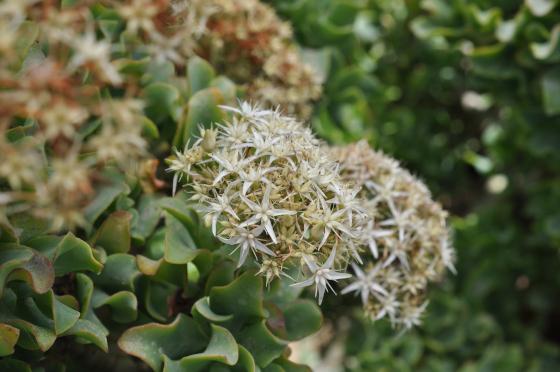 Floraison de Crassula arborescens ssp. undulatifolia.