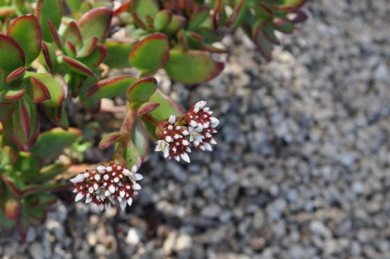 Floraison de Crassula rubricaulis
