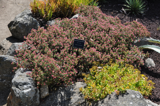 Floraison de Crassula sarcocaulis.