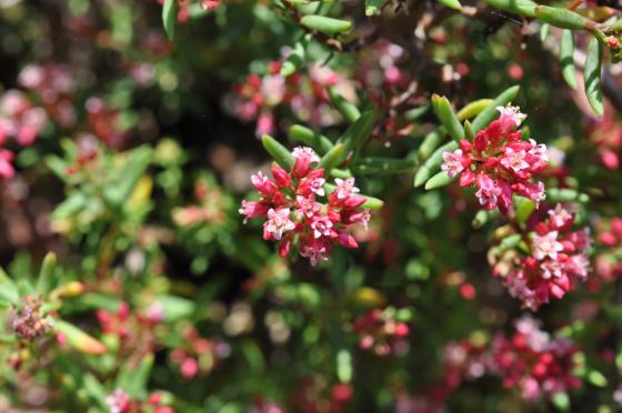 Fleurs de Crassula sarcocaulis.