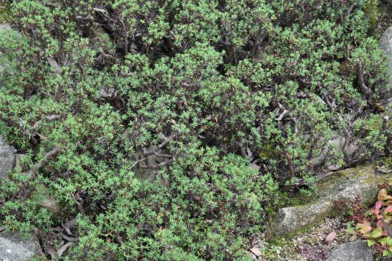 Feuillage de Crassula sarcocaulis.
