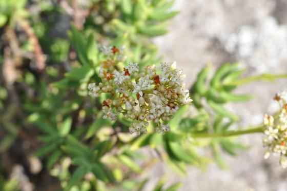 Fleurs de Crassula tetragona