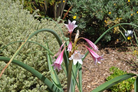 Inflorescence de Crinum bulbispermum