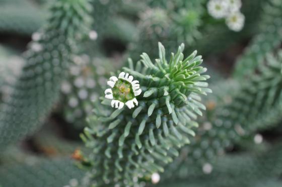 Tige et fleur d'Euphorbia caput-medusae