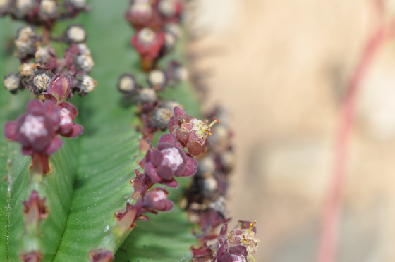 Fleurs d'Euphorbia polygona