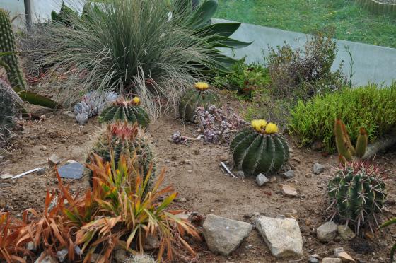 Ferocactus schwarzii dans la serre