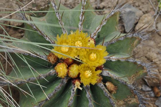 Fleurs de Ferocactus schwarzii