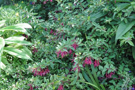 Fuchsia 'Zulu King' dans la végétation.