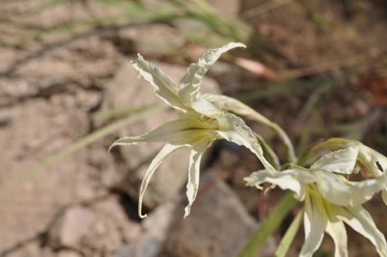 Fleur de Gladiolus undulatus