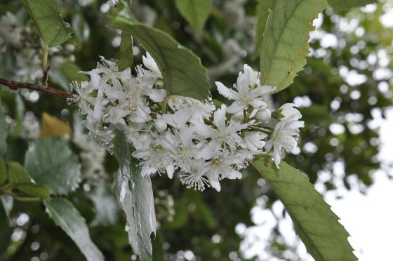 Fleurs de Hoheria populnea