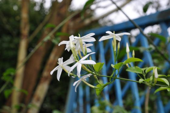 Fleurs de Jasminum azoricum