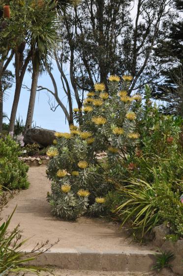 Leucospermum formosum au bord d'une allée