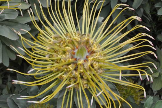 Inflorescence de Leucospermum formosum