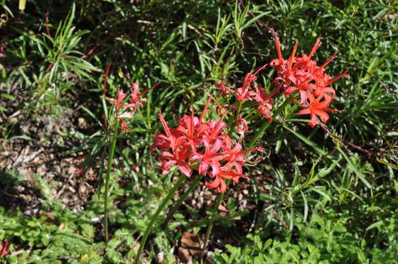 Inflorescences de Nerine sarniensis