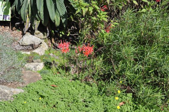 Nerine sarniensis dans son environnement au jardin.