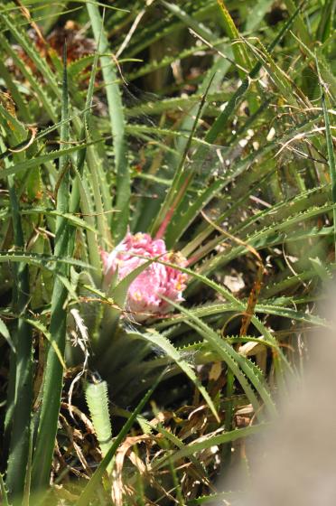 Jeune inflorescence d'Ochagavia carnea