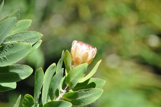 Protea aurea est un arbuste de la famille des Proteaceae originaire d'Afrique du Sud. Crédit photo : Jean-Michel Moullec.