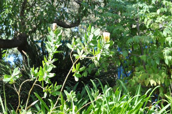 Protea aurea