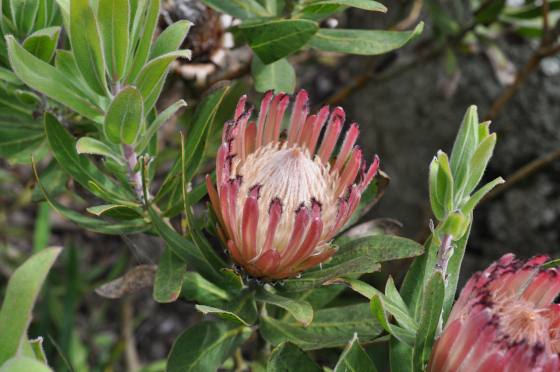 Inflorescence de Protea burchellii