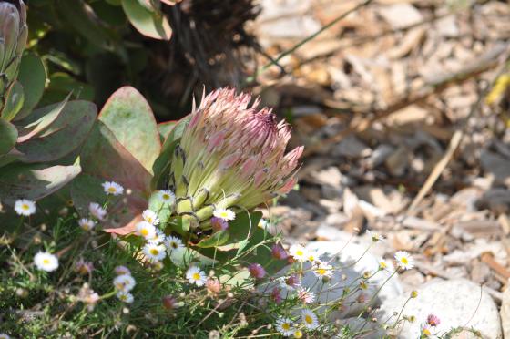 Inflorescence de Protea eximia