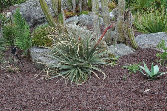 Jeune buisson de Puya humilis