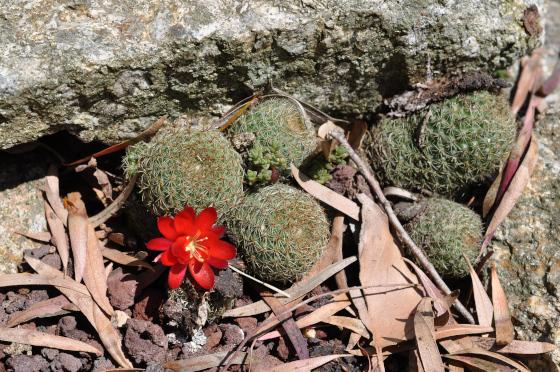 Plant de Rebutia huasiensis