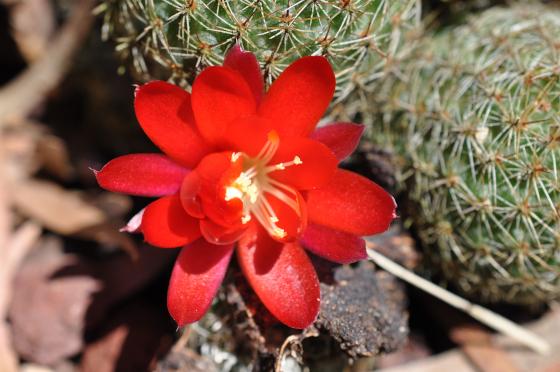 Fleur de Rebutia huasiensis