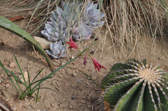 Feuilles et fleurs de Rhodophiala bifida.