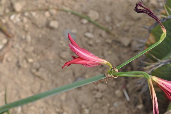 Fleur de Rhodophiala bifida.