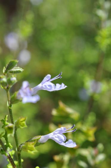 Fleurs de Salvia namaensis