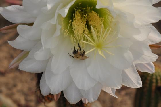 Fleur de Trichocereus spachianus et abeille