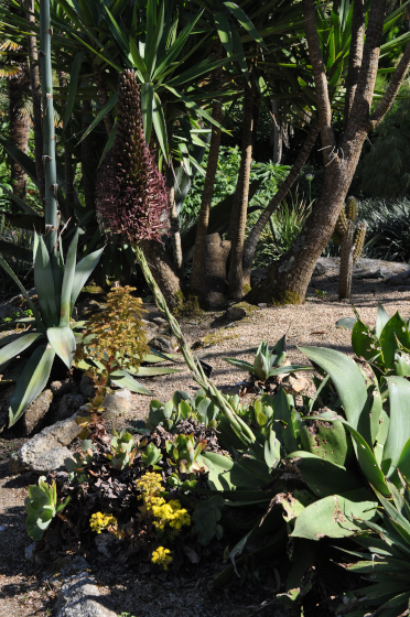 Inflorescence d'Agave mitis