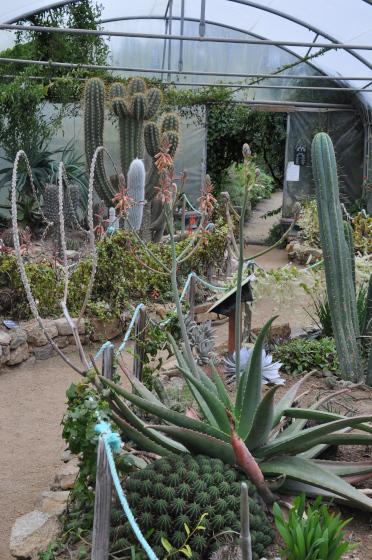 Plant d'Aloe shadensis