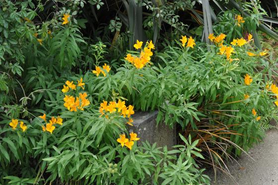 Plant d'Alstroemeria aurea