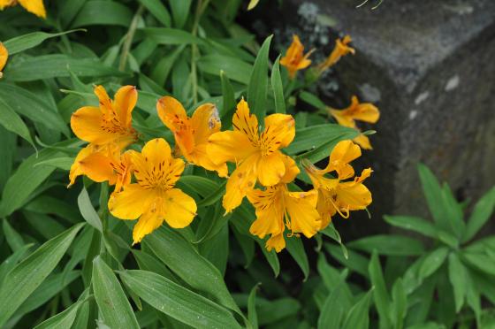 Fleurs d'Alstroemeria aurea