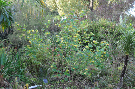 Plant d'Amicia zygomeris
